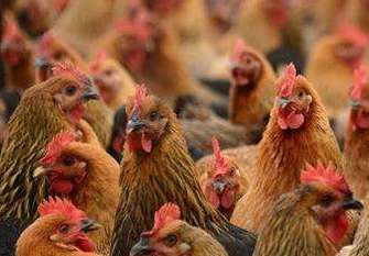 我公司完成哈尔滨精羽全养鸡专业合作社养殖基