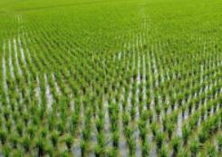 我公司完成莫旗道日爱民景观水稻种植及加工项